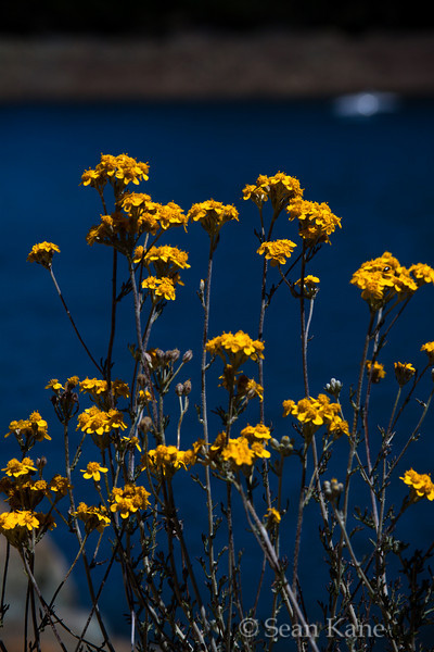 Yellow Wildflowers Over Lake Anderson