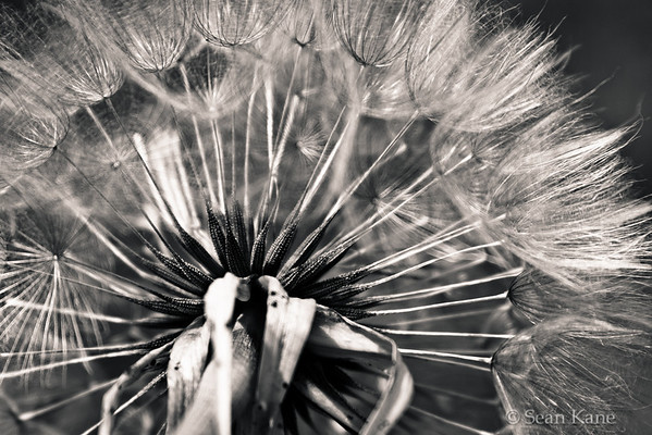 Salsify Seeds on Head