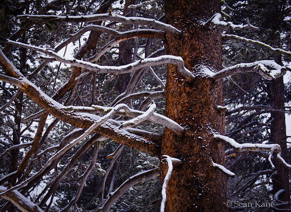 Snowy Tree in Tahoe